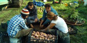 Tempo di semina....piantiamo insieme topinambur e patate @ CSA