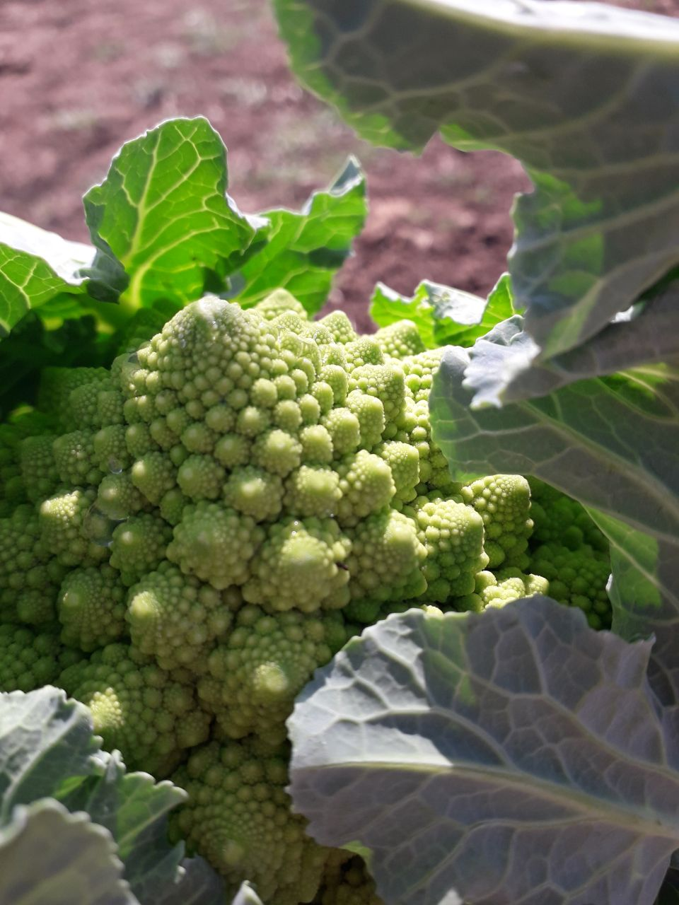 Minestra cremosa di broccolo romanesco ed Arzilla
