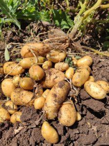 Raccogliamo le patate in CSA! @ Via del Prato della Corte 1602a Roma