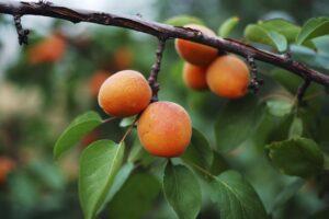 Piantumazione frutteto @ Campi CSA