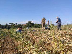 Raccolta collettiva delle zucche @ Campi CSA